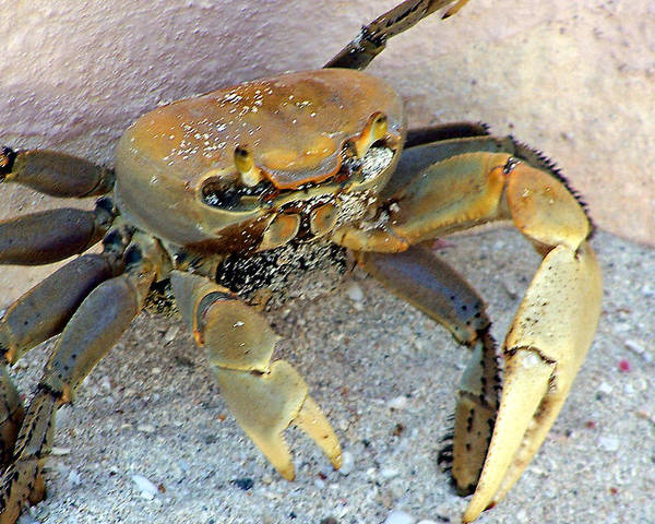 Crab Poster featuring the photograph Crabby by Shawna Nickel