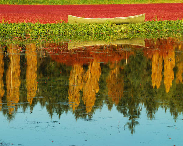 Yellow Point Cranberries Poster featuring the photograph Cranberry Fields by Diane Smith