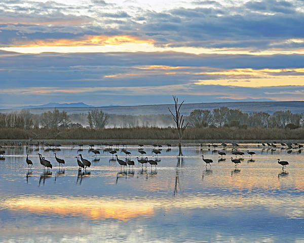 Sandhill Cranes Poster featuring the photograph Cranes At Dawn 1 by Diana Douglass