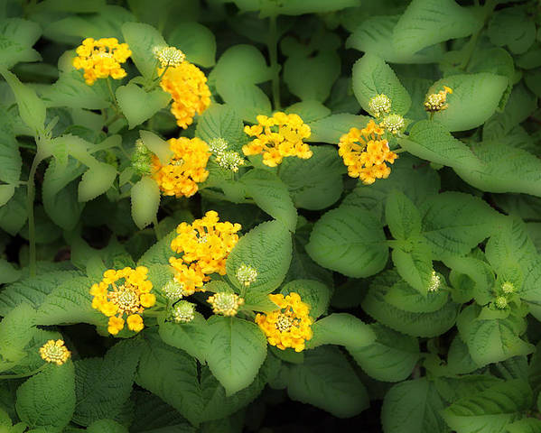 Fkowersm Floral Poster featuring the photograph Creative Yellow Lantanas by Linda Phelps