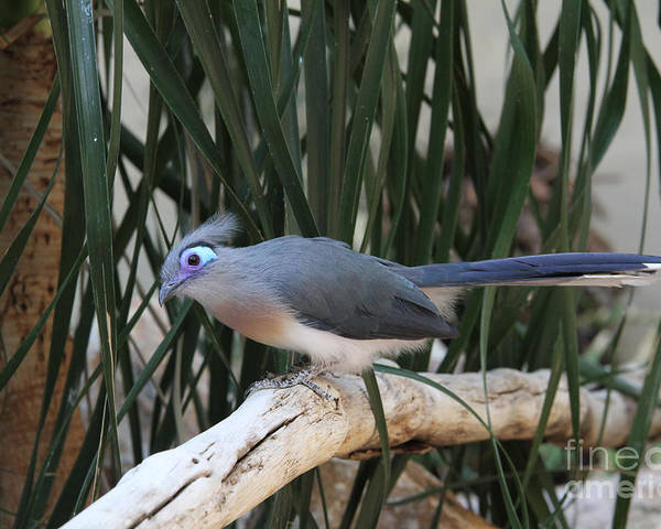Crested Coua Poster featuring the photograph Crested Coua by Judy Whitton