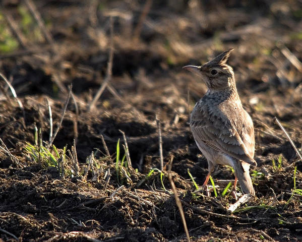Crested Lark On Ploughed Field Poster featuring the photograph Crested Lark by Cliff Norton