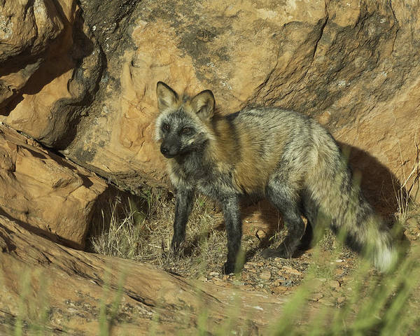 Fox; Animal Themes Poster featuring the photograph Cross Fox On Red Rocks by Melody Watson