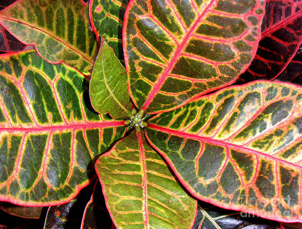 Nature Poster featuring the photograph Croton - A Center View by Lucyna A M Green