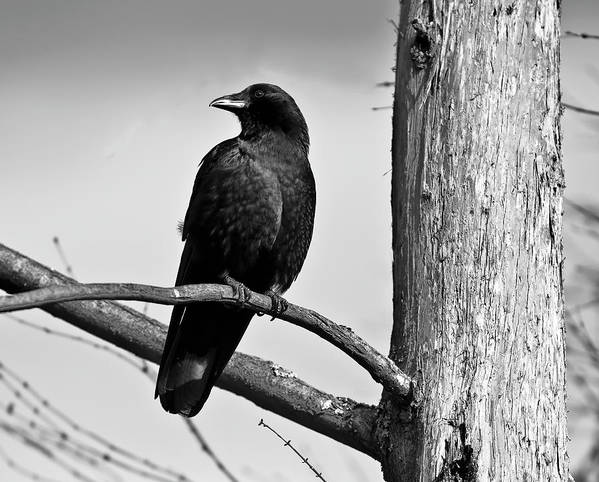 Crow Poster featuring the photograph Crow On Branch by Alasdair Turner