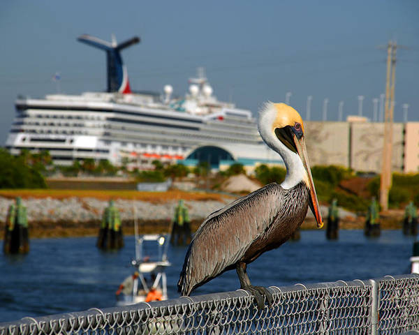 Pelican Poster featuring the photograph Cruising Pelican by Susanne Van Hulst