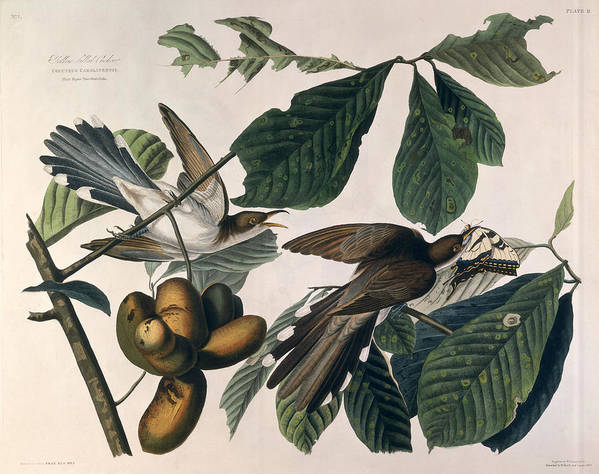 Yellow-billed Cuckoo Poster featuring the drawing Cuckoo by John James Audubon