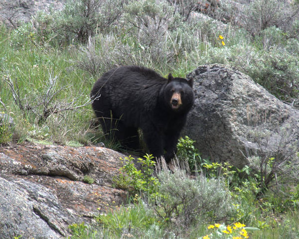 Black Bear Poster featuring the photograph Curious Black Bear by Frank Madia