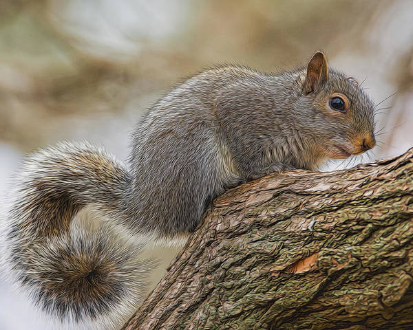 Squirrel Poster featuring the photograph Curly by Cathy Kovarik
