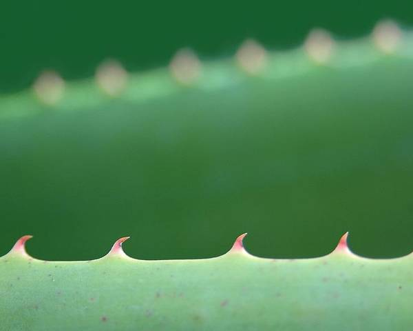 Macro Poster featuring the photograph Cutting Edge Cactus by Dan Holm