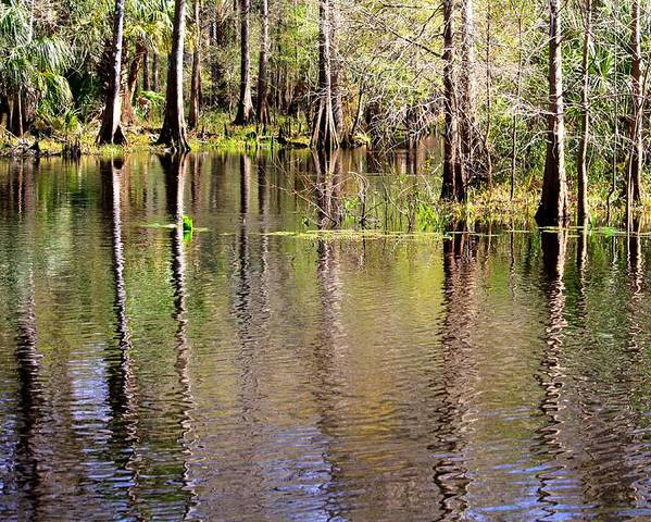 Cypress Trees Poster featuring the photograph Cypress Trees Along The Hillsborough River by Carol Groenen