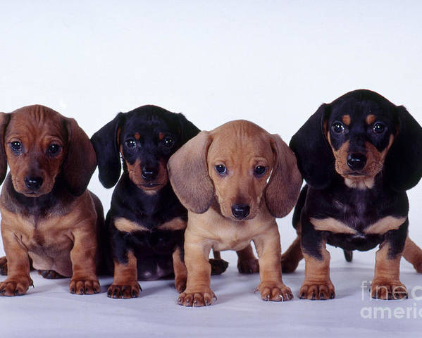 Fauna Poster featuring the photograph Dachshund Puppies by Carolyn McKeone and Photo Researchers