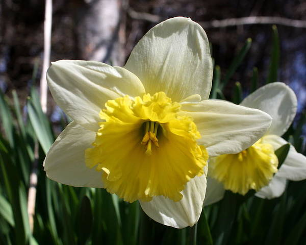 Daffodil Poster featuring the photograph Daffodil Days by Annie Babineau