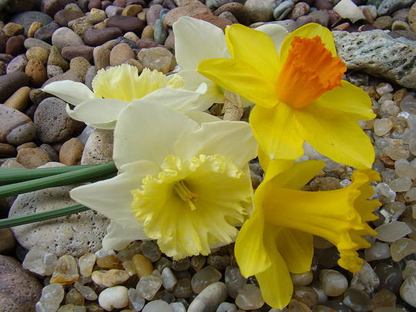 �daffodils Artwork� Poster featuring the photograph Daffodils Flower Artwork 29 Daffodil Flowers Agate Rock Garden Floral Art Prints by Baslee Troutman