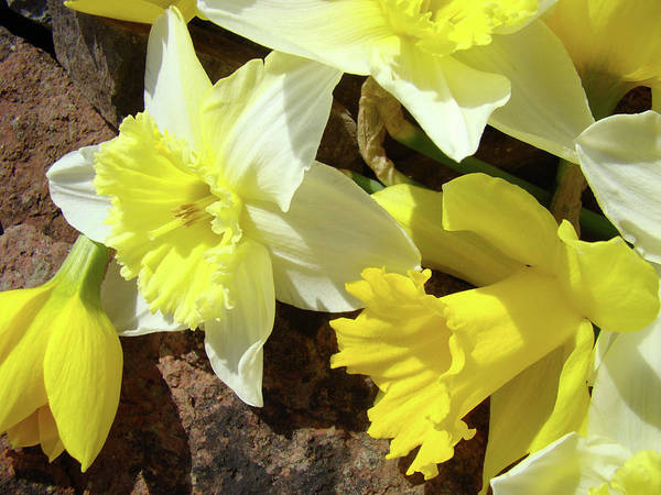 �daffodils Artwork� Poster featuring the photograph Daffodils Flower Bouquet Rustic Rock Art Daffodil Flowers Artwork Spring Floral Art by Baslee Troutman
