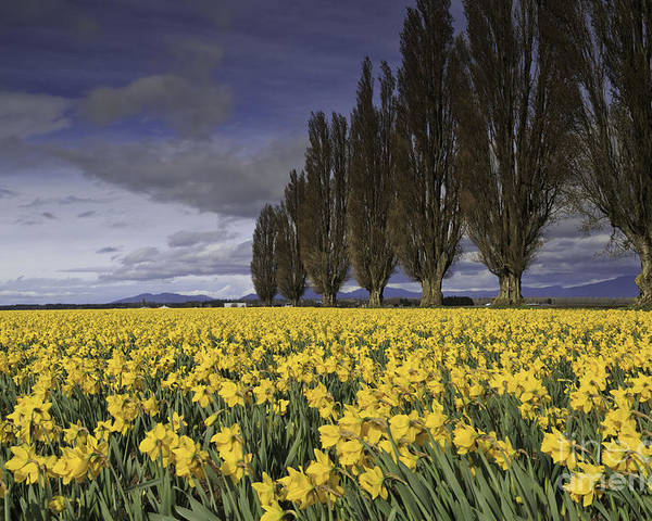 Washington Poster featuring the photograph Daffodils by Tim Hauf