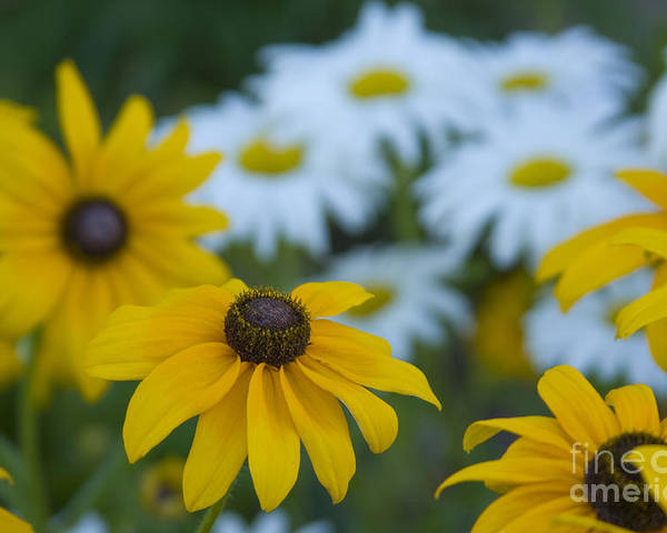 Daisy Poster featuring the photograph Daisies by Idaho Scenic Images Linda Lantzy