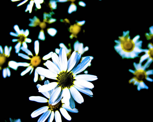 Daisies Poster featuring the photograph Daisies by Grebo Gray