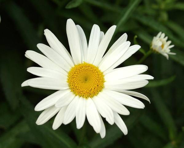 Daisy Poster featuring the photograph Daisy Days by Carol Sweetwood