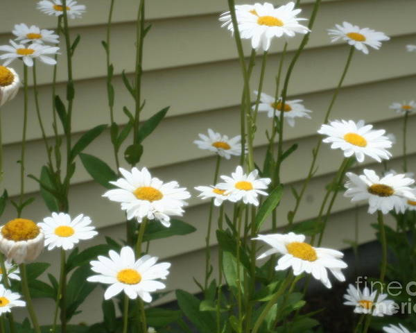 Daisy Poster featuring the photograph Daisy Garden by Amy Holmes