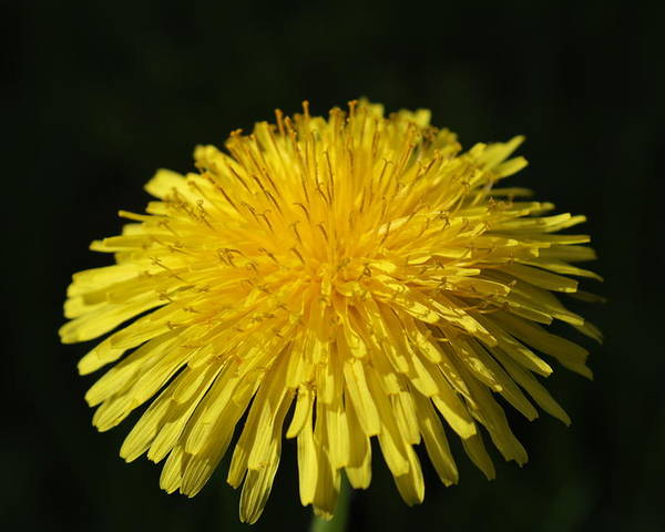 Flower Poster featuring the photograph Dandelion by Richard McIntire