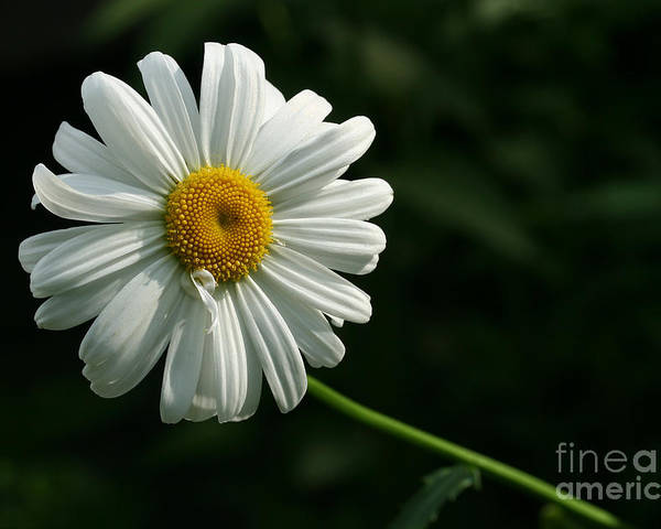 Flower Poster featuring the photograph Daisy by Steve Augustin