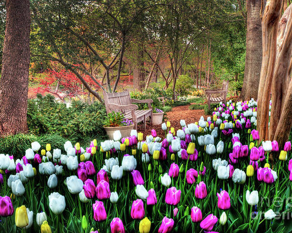 Tulip Poster featuring the photograph Dallas Arboretum by Tamyra Ayles