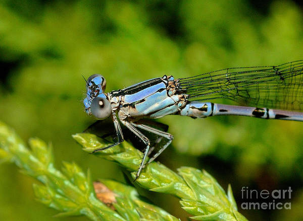 Damselfly Poster featuring the photograph Damselfly by Marc Bittan