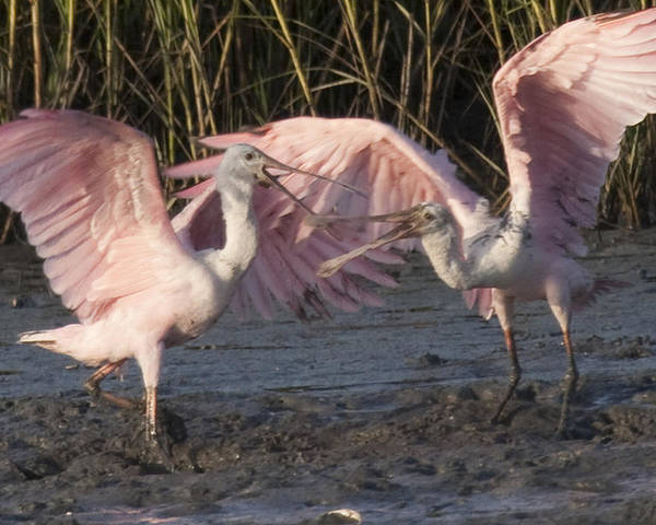 Bird Poster featuring the photograph Dance Of The Spoonbill by Tina B Hamilton