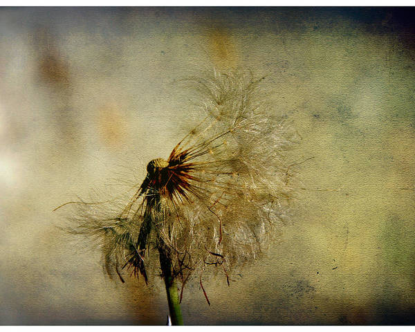 Illustration Poster featuring the photograph Dandelion Flower by Valmir Ribeiro