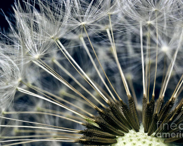 dandelion Snow Poster featuring the photograph Dandelion Seed Head by Ryan Kelly