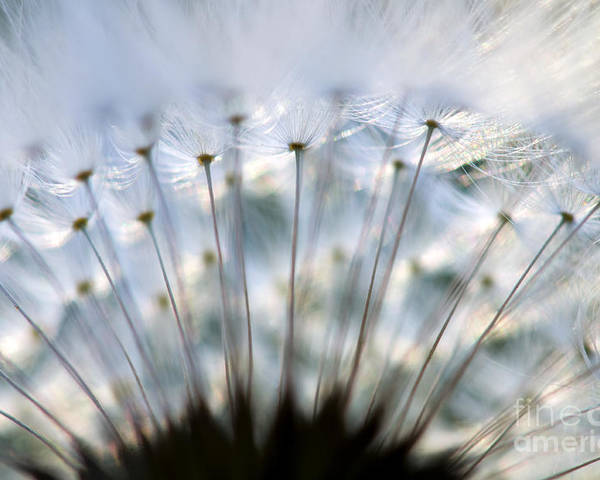 Flower Poster featuring the photograph Dandelion by Silke Magino
