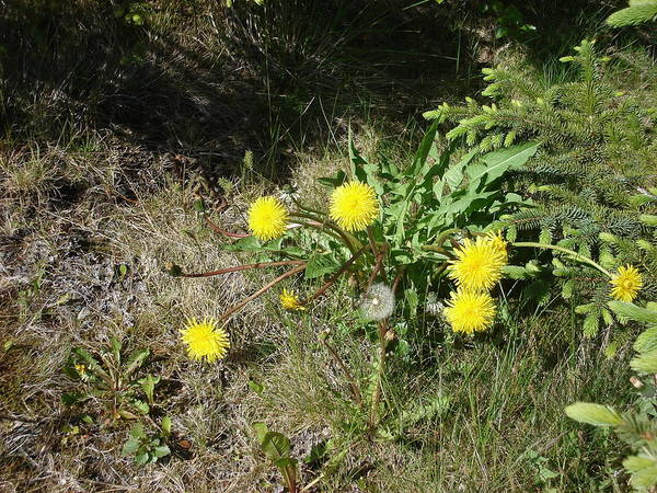 Nature Poster featuring the photograph Dandelions by Marilynne Bull