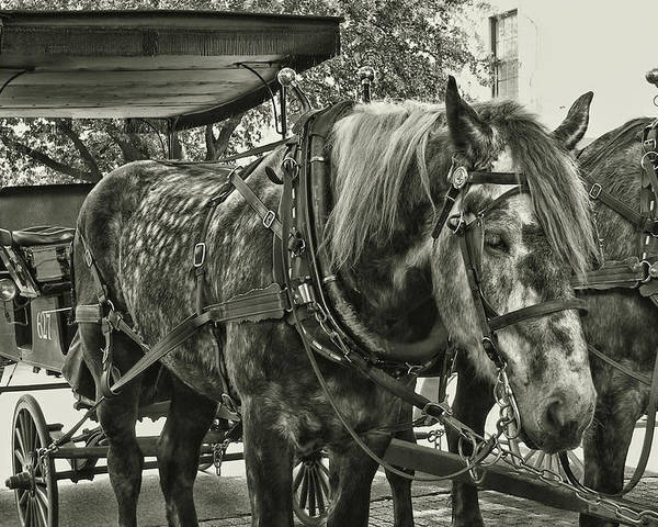 Horse Poster featuring the photograph Dapple Grey by JAMART Photography
