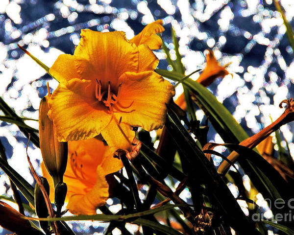 Day Lilies Poster featuring the photograph Day Lilies In Space by David Frederick