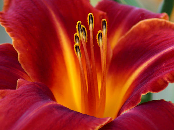 Lily Poster featuring the photograph Day Lily by Julie Jernegan