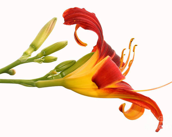 Flower Poster featuring the photograph Daylily by Steve Augustin