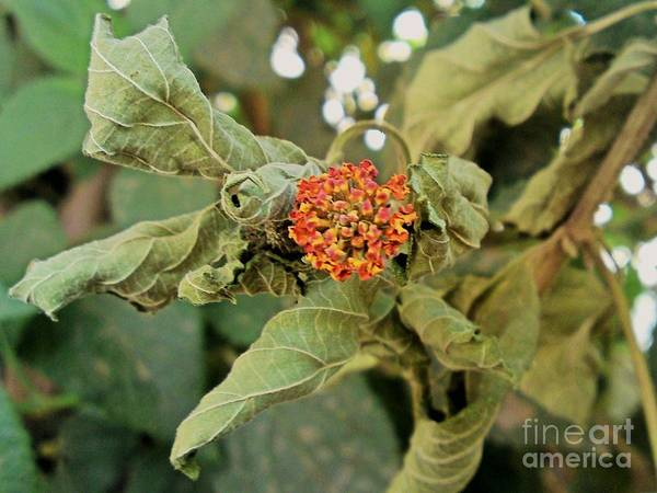 Dead Rose Leaves Green Red Yellow Nature Poster featuring the photograph Dead Rose by Mina Milad