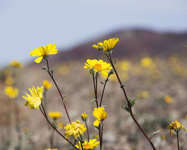 Death Valley Poster featuring the photograph Death Valley Super Bloom 2016 by Mike Kelso