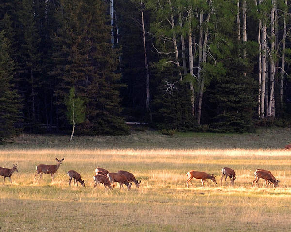 Deer Poster featuring the photograph Deer At Kaibab Meadows by Neil Doren