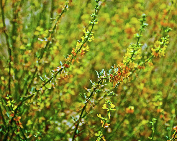 Deerweed In Rancho Santa Ana Botanic Gardens In Claremont Poster featuring the photograph Deerweed In Rancho Santa Ana Botanic Gardens, Claremont-california by Ruth Hager