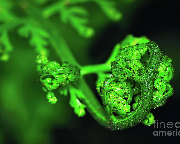 Photography Poster featuring the photograph Delicate Fern Unfolding by Kaye Menner