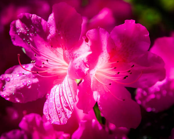 Pink Azaleas Poster featuring the photograph Delight In Creation by Karen Wiles