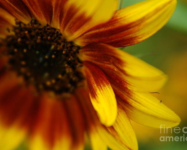 Sunflower Poster featuring the photograph Demure by Michelle Hastings
