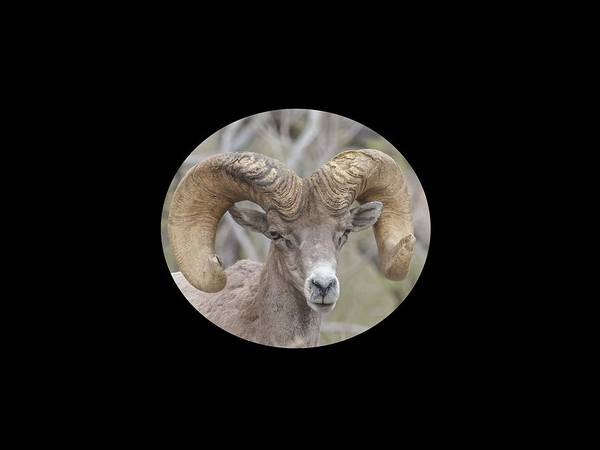 Nature Poster featuring the photograph Desert Bighorn Ram Closeup by John Kulberg