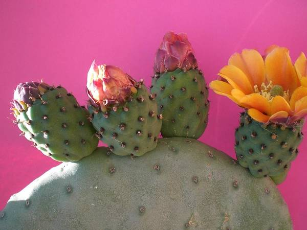 Cactus Poster featuring the photograph Desert Jewels IIi by Aleksandra Buha
