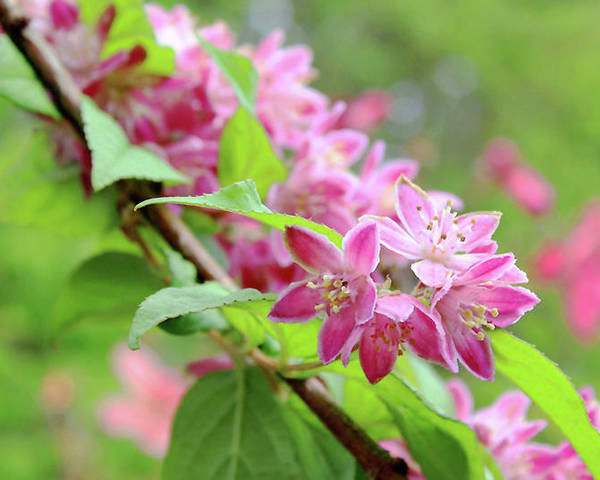 Floral Poster featuring the photograph Deutzia Is My Name by Debra Orlean