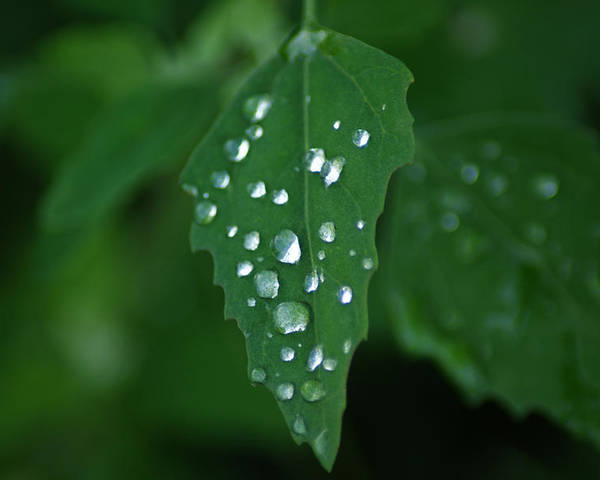 Leaf Poster featuring the photograph Dew Drops by Terry Hoss