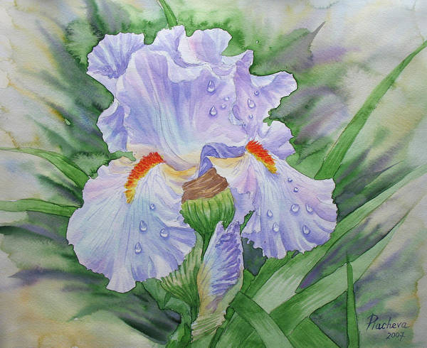 Flowers Poster featuring the painting Dew On Light Blue Iris. by Natalia Piacheva