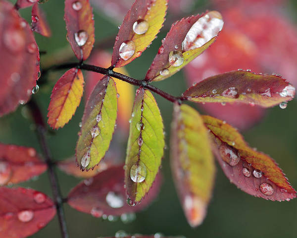 Light Poster featuring the photograph Dew On Wild Rose Leaves In Fall by Darwin Wiggett